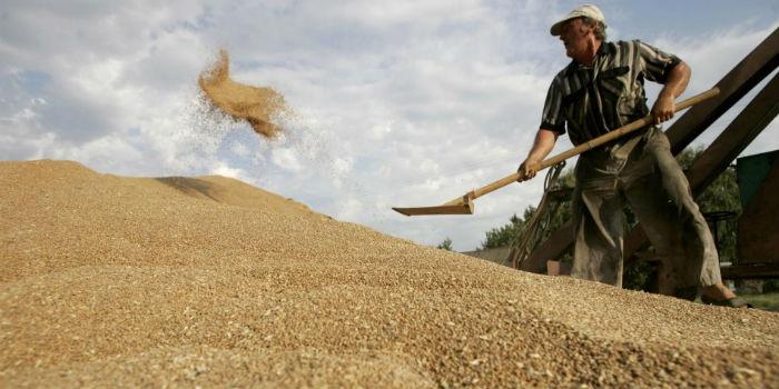 Вближайшие сутки омские аграрии одолеют рубеж в2 млн. тонн зерна